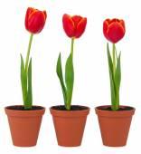 Tulipani isolati — Foto Stock