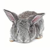 Grey bunny isolated — Stock Photo