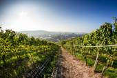 City Vineyard (1) — Stock Photo