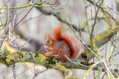 Squirrel likes its walnut — Stock Photo