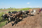 Maasai plow pulls the harness of six buffaloes. — Stock Photo