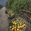 Wicker basket filled harvest oranges, Guangxi Province, southwes — Stock Photo #72193781