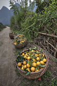 Wicker basket filled harvest oranges, Guangxi Province, southwes — Stock Photo