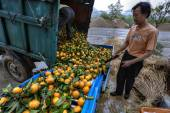 Chinese farmers unload truck with harvest of fresh ripe oranges. — Zdjęcie stockowe