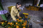 Chinese Girl running on a conveyor belt sorting and handling an of new harvest fresh oranges in the packing house. — Stock Photo