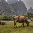 Pasture meadows in rural China, red cows graze in Guangxi. — Stock Photo #72633043