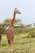 Lone giraffe is grazing on African savannah in bushes, Serengeti Reserve, Tansania. — Stock Photo