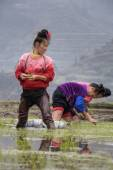 Asian women peasant busy with early-rice  transplanted seedlings in China. — Stock Photo