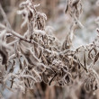 Herbaceous plants in the first frost — Stock Photo #56866153