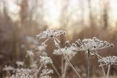 Umbrellas plants under hoarfrost — Foto de Stock