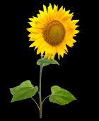 Sunflower isolated on black background. — Stock Photo