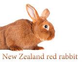 Purebred rabbit. Isolated on white background — Stock Photo