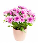 Chrysanthemum in a pot. Isolated on white background. — Stock Photo