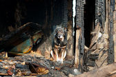 A dog in the house of the owners, burned by the fire house. — Stock Photo