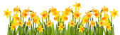 Glade daffodils. Isolated on white background. — Foto de Stock