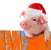 Funny pig in a cap of Santa Claus hanging on the fence. Studio photo. Isolated on white background. Collage for congratulations farmers. — Stock Photo
