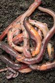 Tangle of earthworms — Stock Photo
