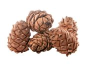 Pine cone pine nut. isolated, — Foto Stock