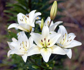 Bush lily. — Stock Photo