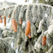Fir branch with beautiful pine cones covered with frost. — Stock Photo #59711081