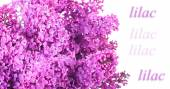 Background from a bouquet of lilacs. isolated — Stock Photo