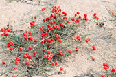 Red berries herb Ephedra (genus). Arenaceous — Stock Photo