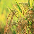 Ear of rice in the rice field — Stock Photo #54954123