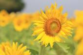 The colorful sunflower — Stock Photo