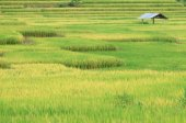 Terraced rice field — Stock Photo