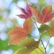 Autumn leaves, very shallow focus — Stock Photo #70538553