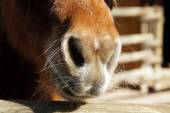 Nostrils of a pony — Stock Photo