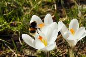 A bumblebee flying to a crocus flower — Stock Photo