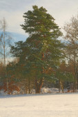 Winter pines forest landscape  — Stockfoto
