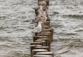Seagulls on wooden stakes — Stock Photo