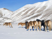 ponies in the snowy plateau of Castelluccio of Norcia, Umbria, — Stock Photo
