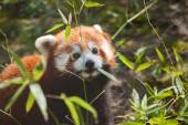 Liitle small cute red panda eating bamboo — Fotografia Stock