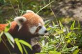 Rode panda — Stockfoto