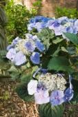 Blue Hydrangea Macrophylla Flower in a southern USA garden — Stock Photo