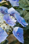Blue Hydrangea Flowers in a southern gardens morning light — Stock Photo
