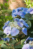 Blue Hydrangea Flowers in a backyard garden during morning hours — Stock Photo