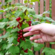 Picking up red currants from currant bush — Stock Video #60468849