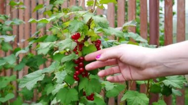 Picking up red currants from currant bush — Stock Video