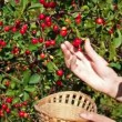 Picking up red cherry from cherry tree — Stock Video #61649333