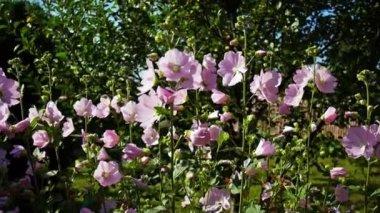 Pink Malva swinging on the wind — Stock Video