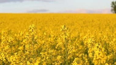 Blooming rapeseed field at sunset — Stock Video