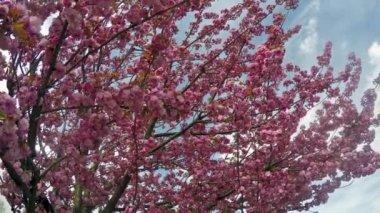 Sakura cherry blossoms against the blue sky — ストックビデオ