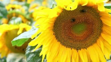 Closeup of sunflower on sunflowers field at sunny windy day. Flying bumblebees over flower. — Stock Video