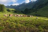 Vaches dans la montagne — Photo