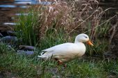 Duck in the grass — Stockfoto
