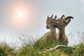 Ibex adult and small ibex on italian Alps — Stock Photo